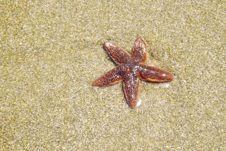 Animal Themes Beach Close-up Nature Sand Sea Life Starfish