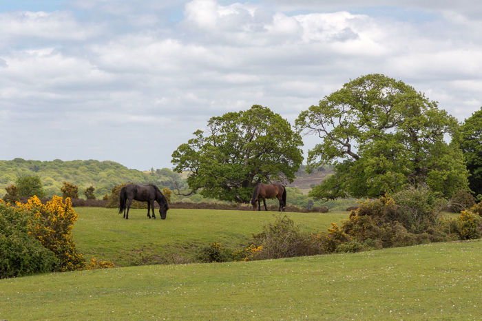 Two wild New Forest ponies grazing on heath land. Animal Themes Beauty In Nature Brownie Chestnut Colored Cloud - Sky Day Elephant Field Gorse Flower Grass Grazing Green Color Growth Horse Landscape Mammal Nature No People Outdoors Sky Tranquil Scene Tranquility Tree