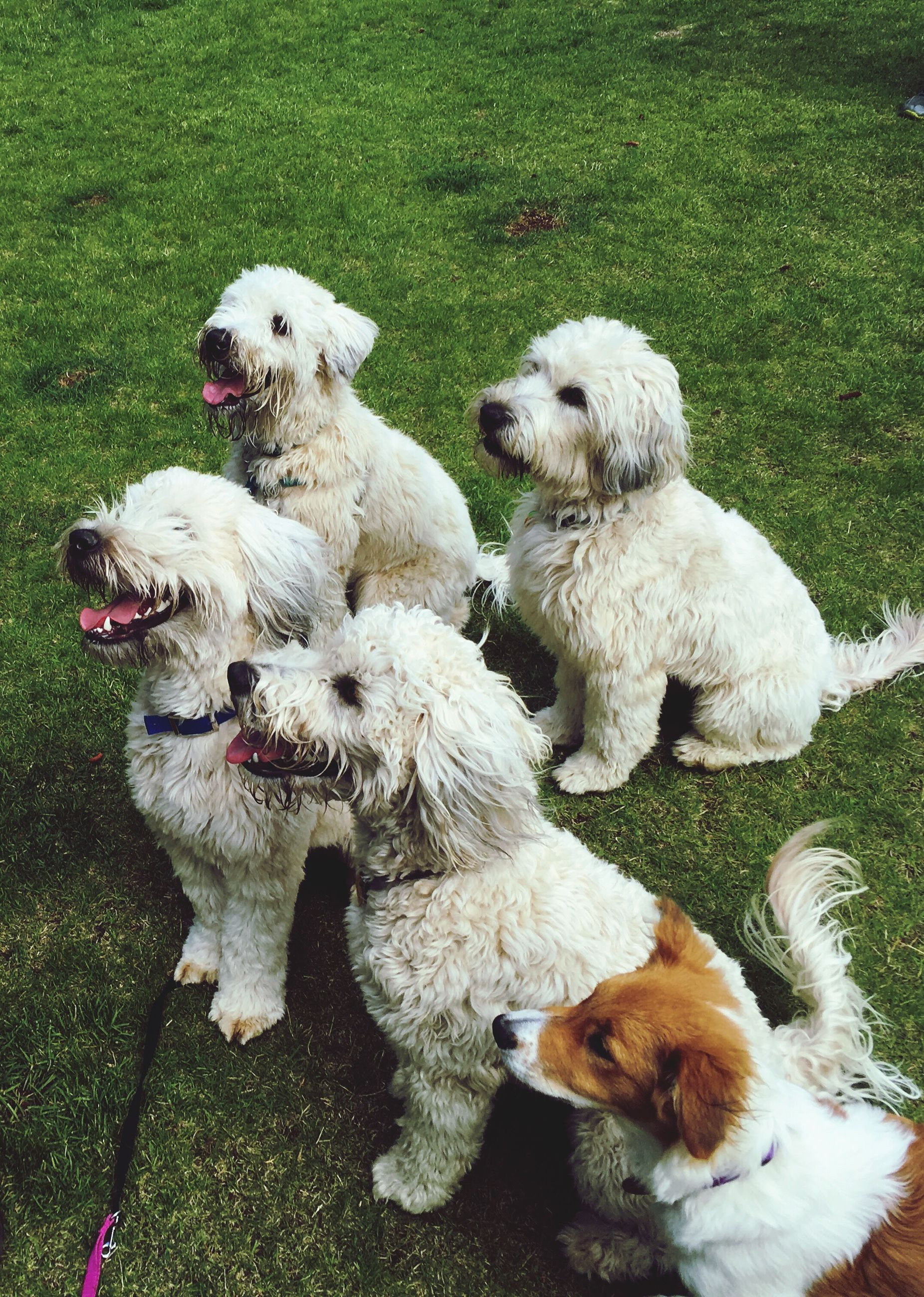 domestic animals, mammal, white color, grass, sheep, pets, field, livestock, relaxation, day, young animal, nature, no people, white, lying down, outdoors, grassy, animal family, resting, cute, green color, puppy