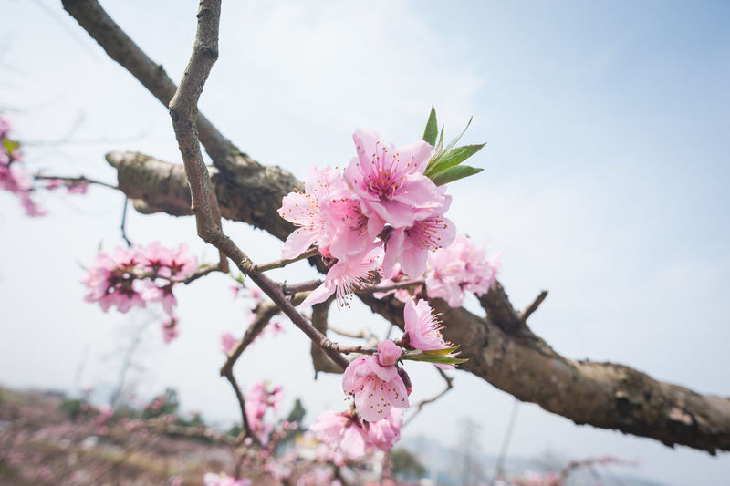 peach Blossom in spring Chengdu Longquanyi Plant Flower Flowering Plant Pink Color Beauty In Nature Tree Freshness Fragility Vulnerability  Growth Branch Blossom Nature Close-up Day Springtime Petal No People Focus On Foreground Cherry Blossom Outdoors Flower Head Cherry Tree Peach Peach Tree Peach Blossom Peach Flowers Spring Spring Flowers Village Village Life Pink Flower