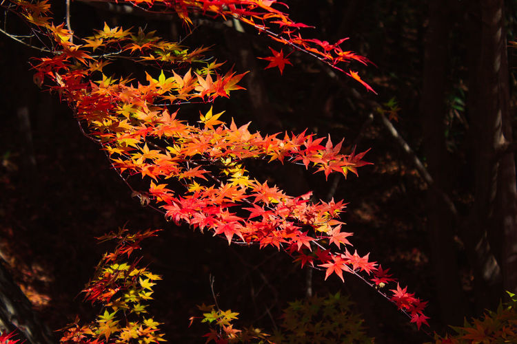 EyeEmNewHere Japan Travel Autumn Beauty In Nature Branch Change Close-up Day Growth Leaf Maple Leaf Maple Tree Natural Condition Nature No People Orange Color Outdoors Plant Plant Part Red Selective Focus Travel Destinations Tree