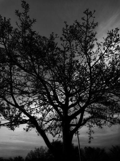 Silhouette Sky Tree Beauty In Nature No People Sunset Silhouettes Blackandwhite Photography Lifeinmonochrome Softglow Oo HuaweiP9 Capturedonp9 TheWorldThroughMyLens Lifeasiliveit