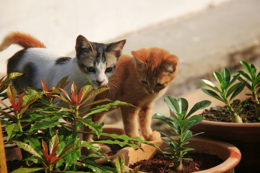 Two kittens playing together in a garden Domestic Cat Pets Plant No People Feline Domestic Animals Close-up Tabby Cat Animal Themes Day Portrait Cat Play Garden Curious Adorable Cute Animal