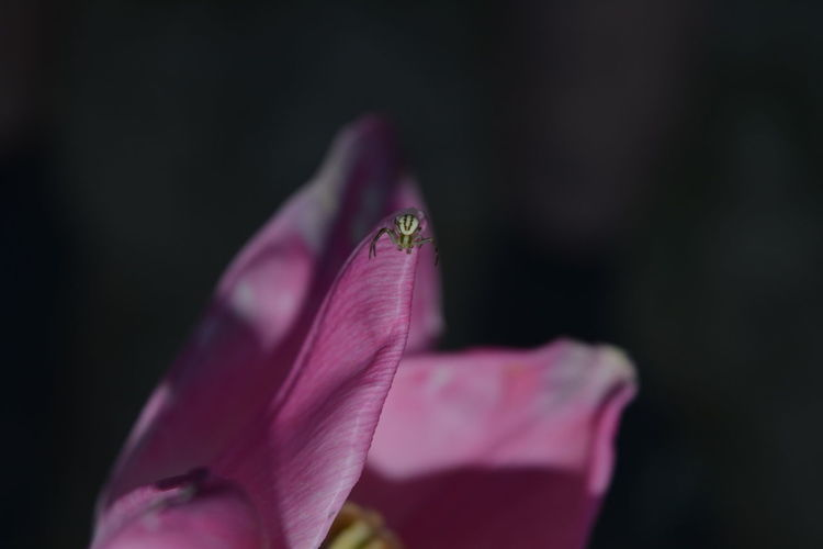 Close-up of pink flower against black background