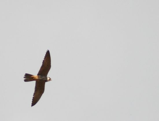 Beauty In Nature Bird Of Prey Bird Photography Day Falcon Flying Falco Subbuteo Nature No People Outdoors Soaring Birds Spread Wings Hobby Wings