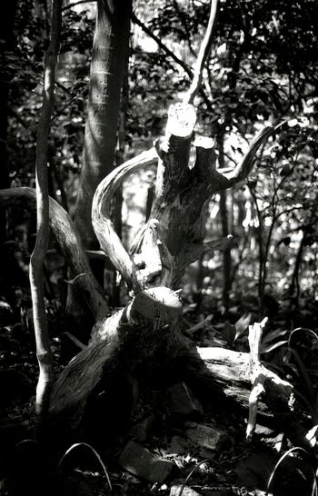 Tree Growth Nature No People Forest Day Outdoors Tree Trunk Plant Branch Beauty In Nature Monochrome Blackandwhite The Purist (no Edit, No Filter) Analogue Photography Film Photography Analog