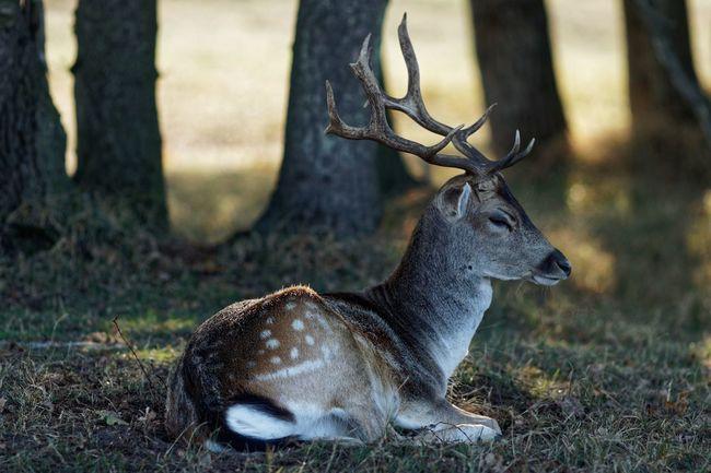 In The Shadows Resting Buck Fallow Deer Animal Themes Animal Animal Wildlife One Animal Animals In The Wild Mammal Vertebrate Deer Nature Antler