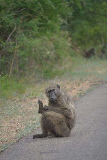 Kruger Park Krugernationalpark Eyemphotography EyeEm Best Shots EyeEm Best Shots - Nature EyeEm Nature Lover Eye For Photography EyeEm Gallery EyeEm Baboon Portrait South Africa Wildlife & Nature Wildlife Photography Wildlife