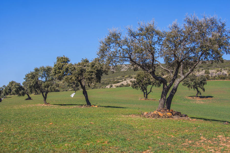 Encinas, holm oak Day Encina Encinas Espana-Spain España Fence Field Grass Grassy Green Green Color Growth Holm Oak Landscape Nature Outdoors Relaxing Moments Remote Rural Scene Spaın Summer Tranquil Scene Tranquility Tree Tropical Climate