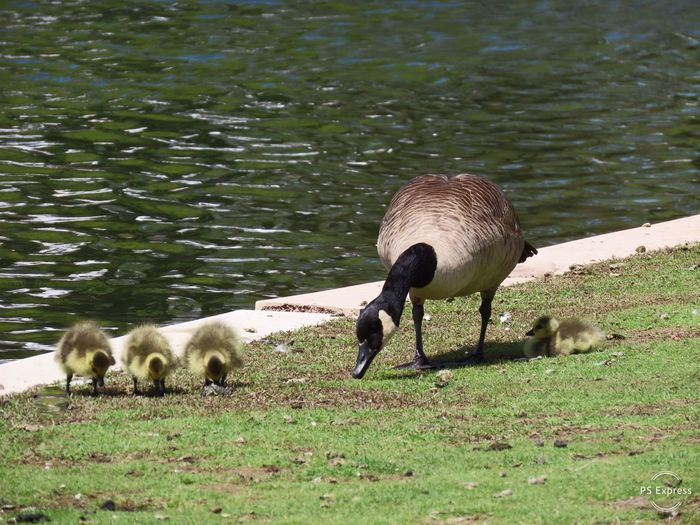 Goose and her goslings grass water outdoors animal themes birds of EyeEm Group Of Animals Animal Wildlife Nature Green Color No People