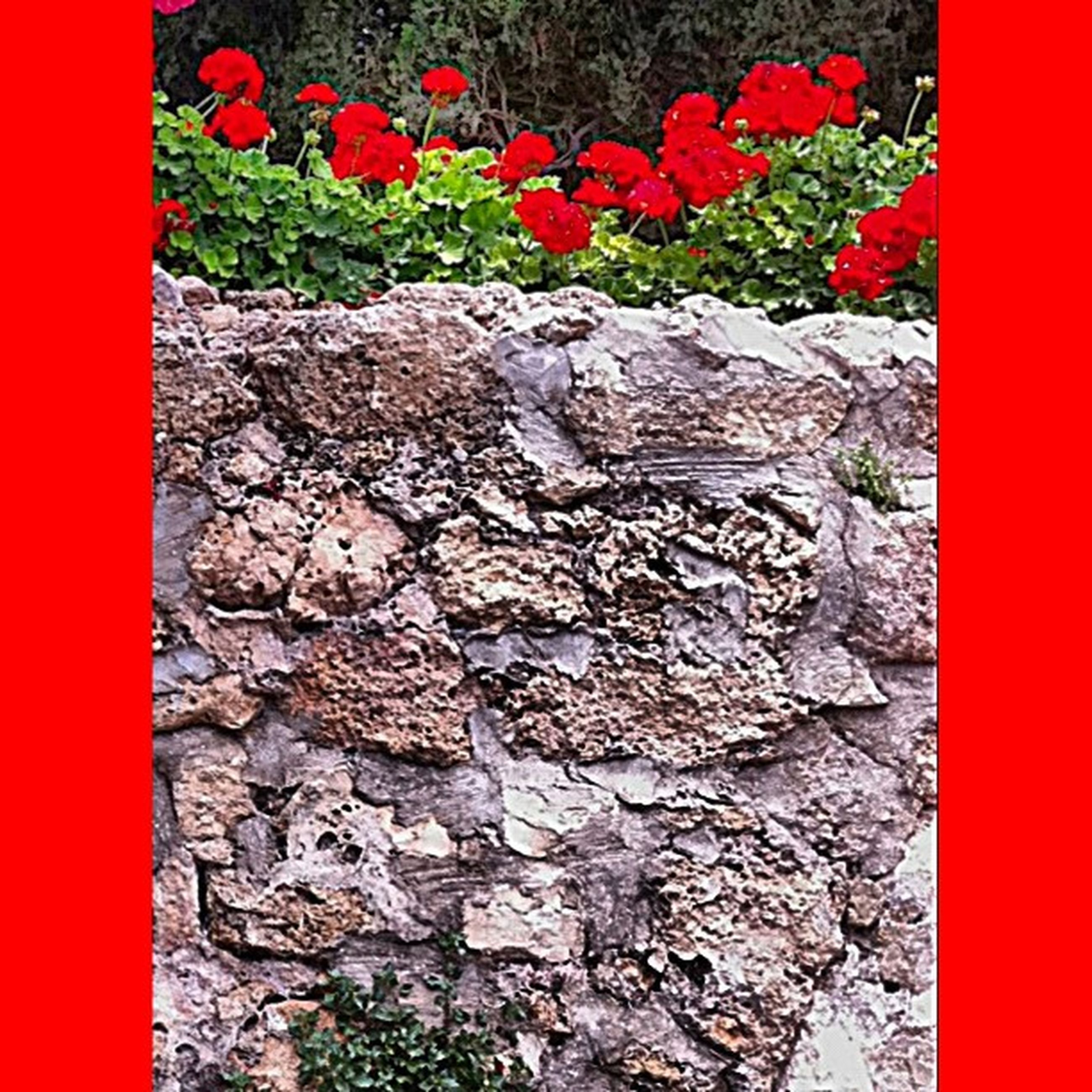 red, wall - building feature, plant, flower, textured, growth, stone wall, wall, close-up, day, nature, outdoors, no people, auto post production filter, brick wall, leaf, stone, built structure, high angle view, sunlight