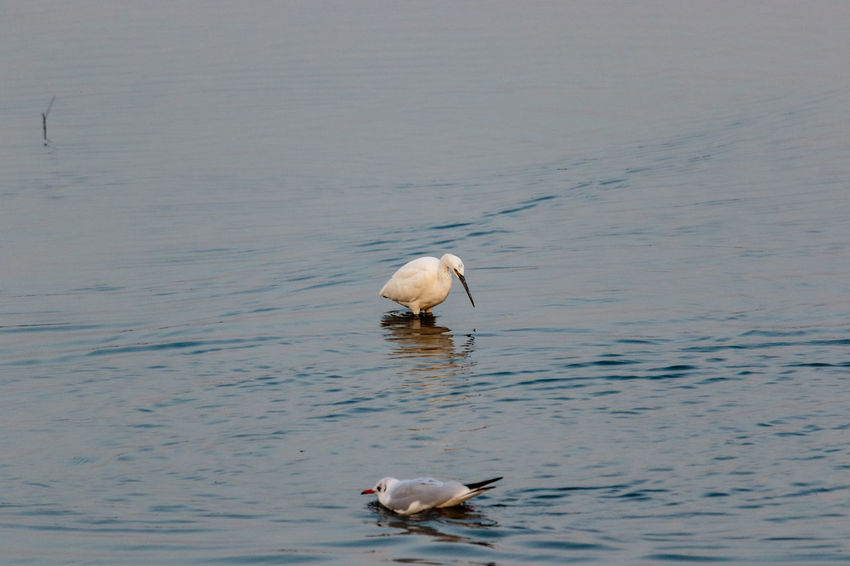 Hebei Swimming Animal Themes Animal Wildlife Animals In The Wild Beauty In Nature Beidaihe Bird China Chinese Day Estuary Gull Nature No People One Animal Outdoors Qinhuangdao Sea Seagull Sunset Wading Water Waterfront