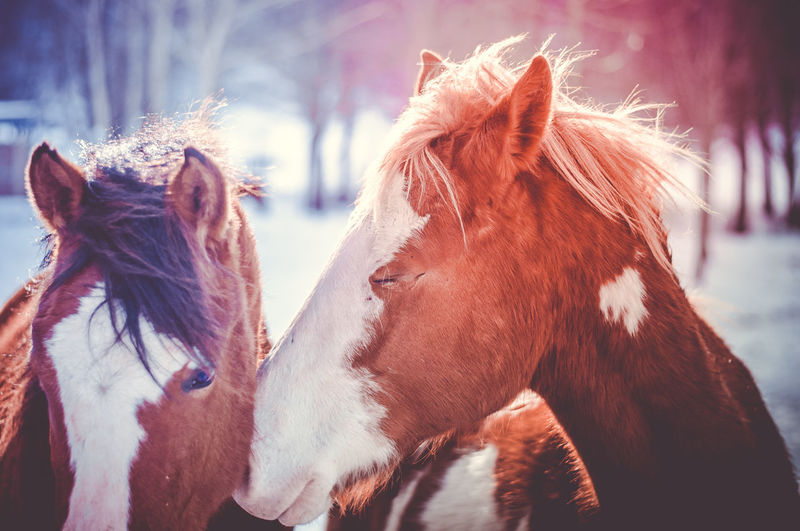 Friends Love is in the air Sweet Dreams Animal Hair Animal Themes Brown Close-up Day Domestic Animals Friendship Herbivorous Horse Livestock Love ♥ Lovely Mammal Nature Next To Me ... No People Outdoors Sweetness Sweetness Of Life Tender Moments Tenderness You And Me Shades Of Winter