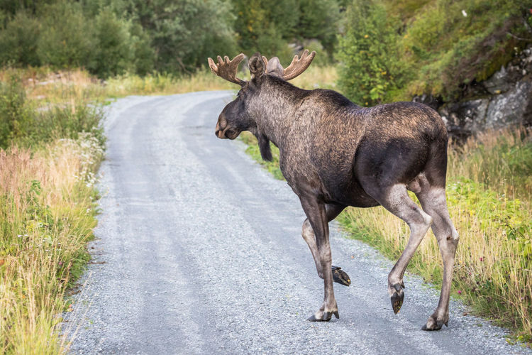 Crossing The Street Northern Norway Norway Animal Animal Themes Animal Wildlife Animals In The Wild Beauty In Nature Day Eating Foraging Grass Mammal Moose Natural Parkland Nature No People Nordland County One Animal Outdoors Road The Natural World Tree Walking Done That.
