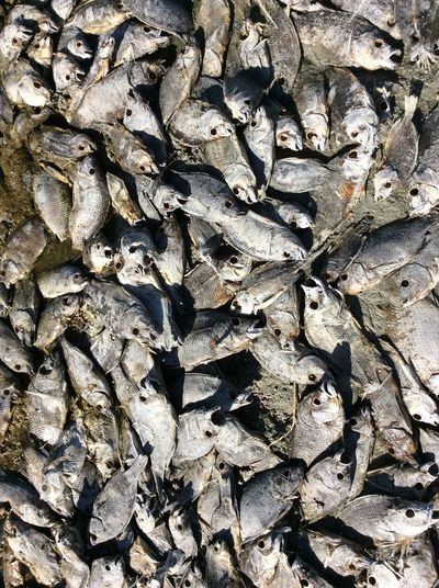 Pattern Pieces DEAD FISH From My Point Of View Edge Of The Water Salt Lake Salton Sea California State Park USA Jan 2016 Patterns Of Dead Fish Eyes Missing