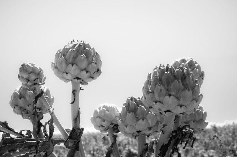 Artichoke Black And White Blackandwhite Plant Plant Life Plant Photography Planting Plants Plants And Flowers Plants 🌱