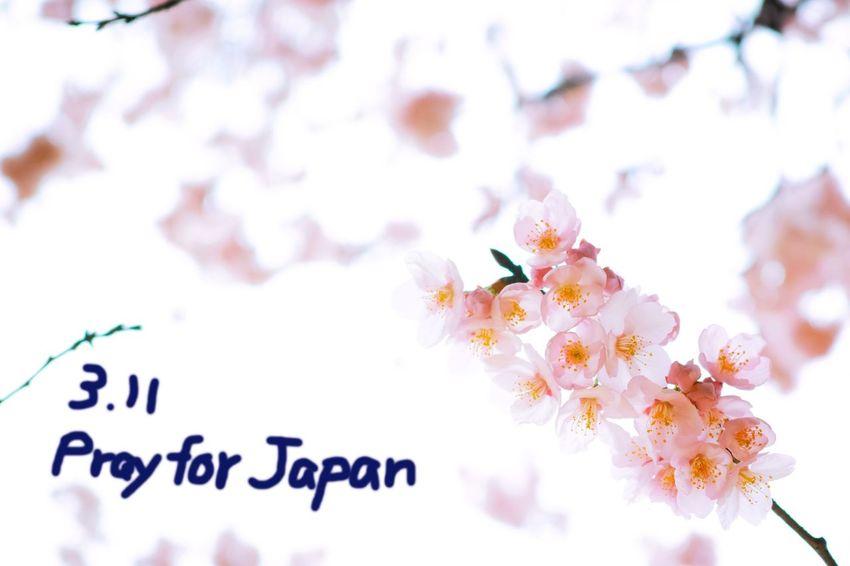 あの日の記憶と. . . Prayforjapan 311 Remenber Spring Cherry Blossoms Flowers Flowerporn Nature Nature_collection EyeEm Nature Lover From My Point Of View
