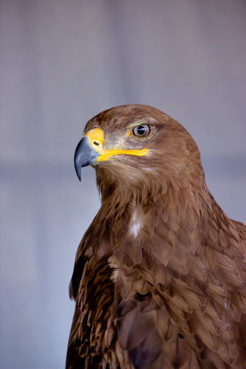 Close-Up Of Steppe Eagle