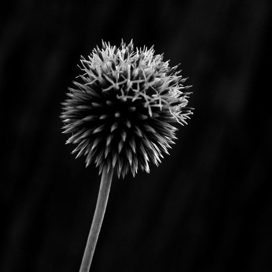 Thistle close up Flower Flowering Plant Plant Flower Head Beauty In Nature Close-up Inflorescence Fragility Vulnerability  Growth Petal Nature No People Focus On Foreground Plant Stem Dandelion Outdoors Black Background Spiky Wilted Plant Dandelion Seed Thistle Thistle Flower France