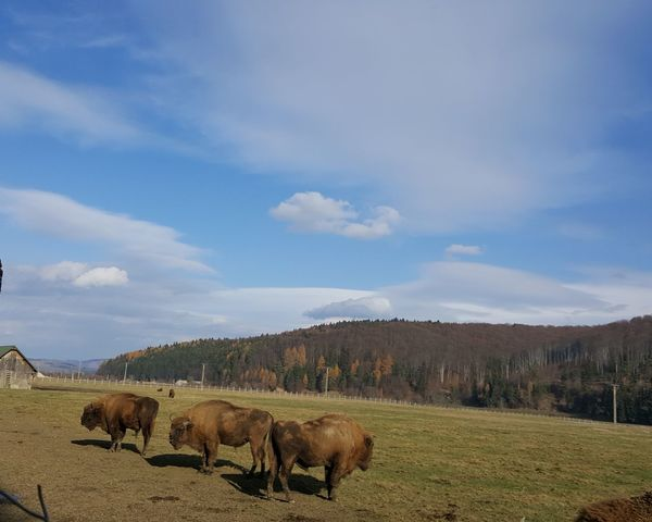 EyeEm Selects EyeEmNewHere Animal Animal Themes Outdoors Nature American Bison EyeEm Nature Lover