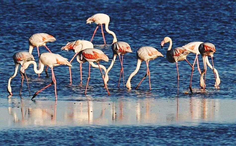 Water Bird Lake Animals In The Wild Animal Themes Nature Day Animal Wildlife No People Flamingos Large Group Of Animals Outdoors Beauty In Nature Togetherness Pelican Perching Cervia 2016 😊