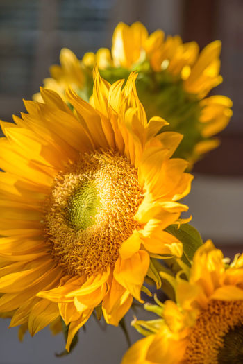 Fresh Cut Sunflower Sunlight Beauty In Nature Close-up Day Flower Flower Head Focus On Foreground Fragility Freshness Growth Indoors  Nature No People Petal Plant Shadow Yellow
