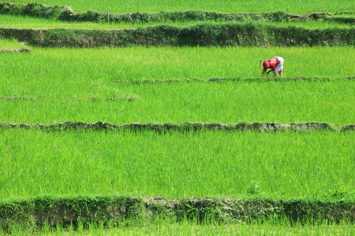 Agriculture Beauty In Nature Crop  Farm Farm Life Farm Worker Farmer Farmer In Ricefield Farmer's Life Farmers Field Green Color Growth Lifestyles Nature Occupation Outdoors Real People Ricefarm Ricefield Ricefield View Ricefield Worker Ricefields Harvest Rural Scene Working