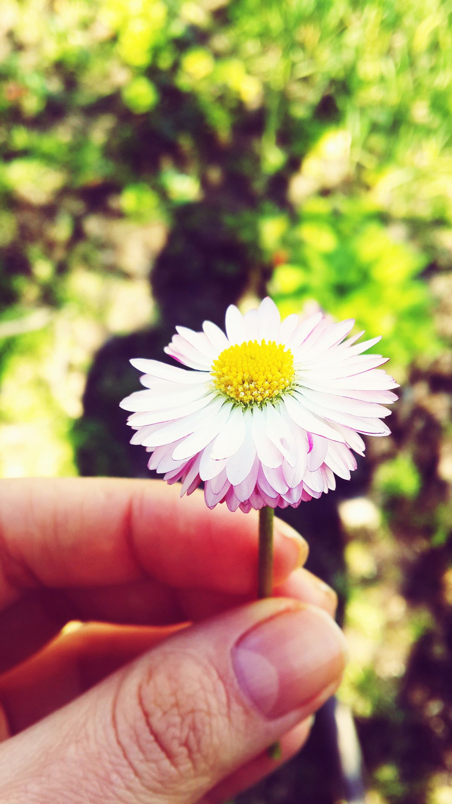 flower, person, holding, petal, flower head, fragility, single flower, part of, focus on foreground, human finger, freshness, unrecognizable person, cropped, personal perspective, pollen, white color, close-up