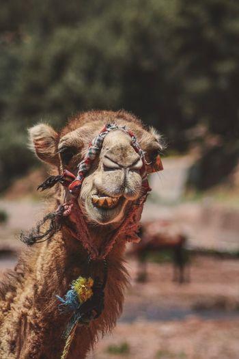 Portrait of camel on field