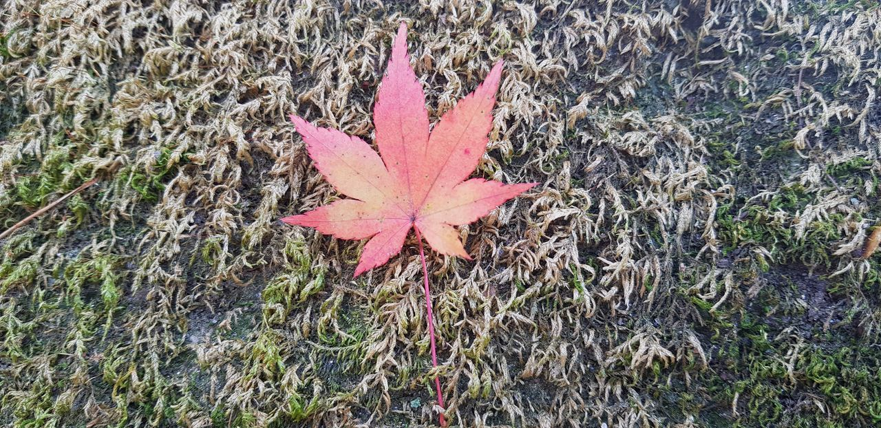 HIGH ANGLE VIEW OF MAPLE LEAF ON FIELD