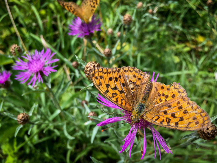 Orange Animal Themes Animal Wildlife Animals In The Wild Beauty In Nature Butterfly Butterfly - Insect Close-up Day Flower Flower Head Focus On Foreground Fragility Freshness Growth Insect Nature No People One Animal Outdoors Perching Plant Pollination Purple Spread Wings