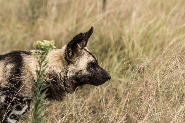 Mammal No People Grass Nature Wild Dog Painted Wall Africa Beauty In Nature Wildlife Wildlife Photography Animal Themes Animal One Animal Domestic Animals Domestic Dog Canine Pets Plant Animal Wildlife Animals In The Wild Day Side View Looking Land Survival Profile View Animal Head