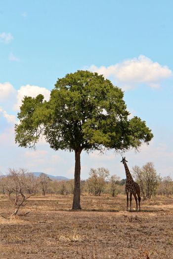 Animal Themes Animals In The Wild Beauty In Nature Day Giraffe Landscape Mammal Mikumi National Park Nature No People One Animal Outdoors Safari Animals Savannah Scenics Sky Tanzania Tanzania National Park Tree