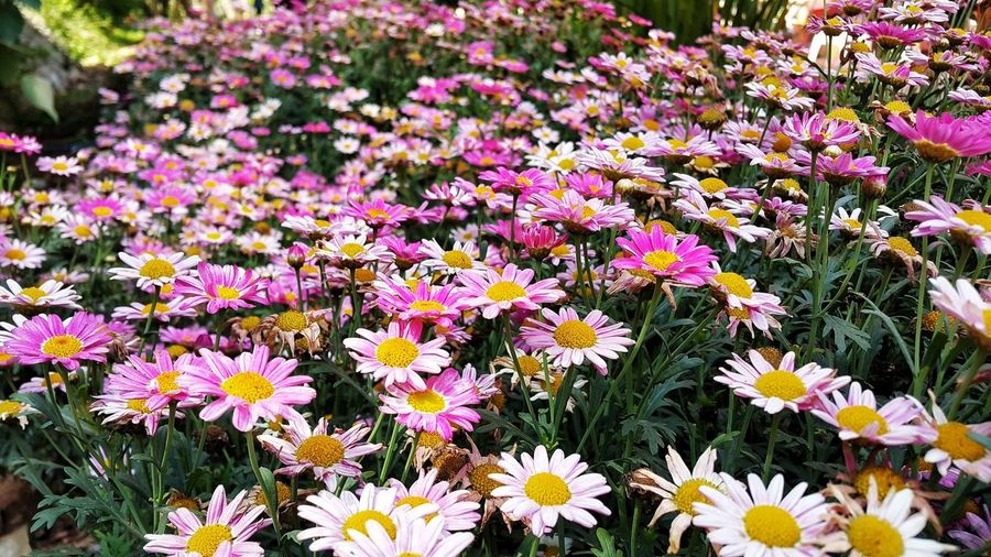 EyeEmNewHere Naturelovers Flower Head Flower Petal Summer Field Flowerbed Close-up Blooming Plant Blossoming