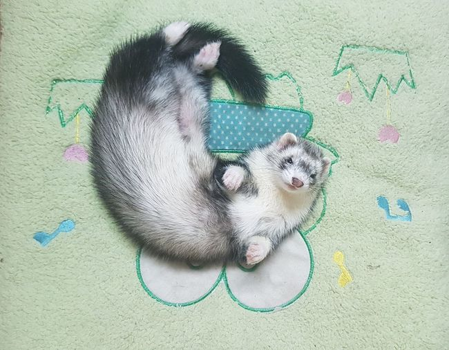 little💕 Ferret Animal One Animals Pet Exotic Cute Cute Pets Pets Dog Domestic Animals One Animal Animal Themes Day No People