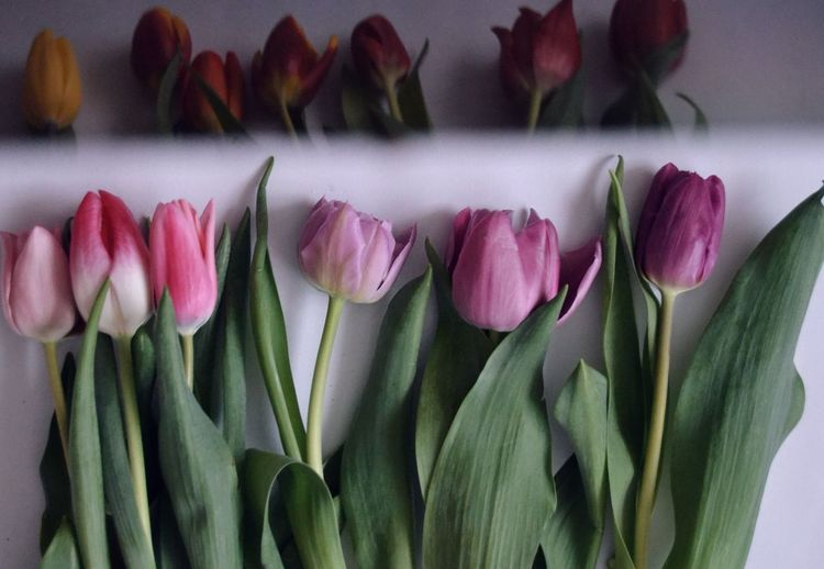 Nature Springtime Tulpe Flower Head Flower Florist Bouquet Tulip Multi Colored Pink Color Variation Close-up In Bloom Petal Blooming