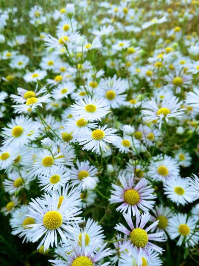 Beauty In Nature Daisy Day Flower Fragility Freshness No People Outdoors White Color
