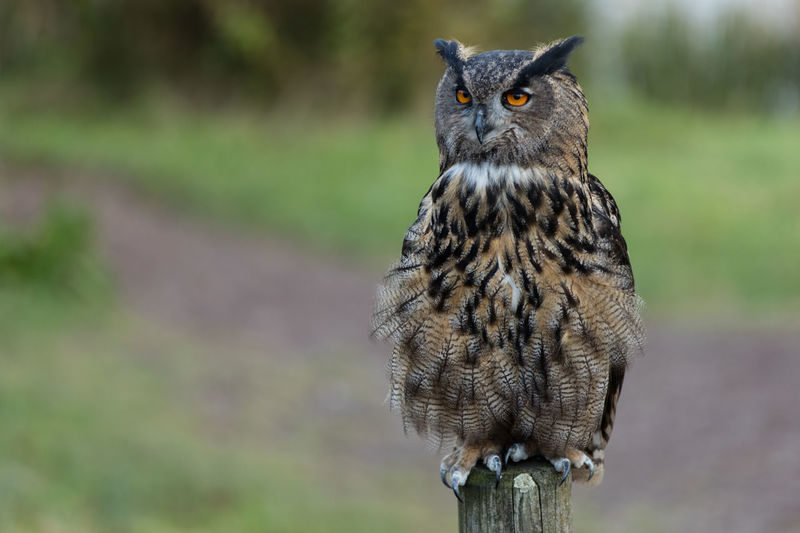 Close-Up Of Eagle Owl Looking Away On Wooden Post