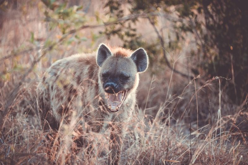 Hyena standing amidst plants on field