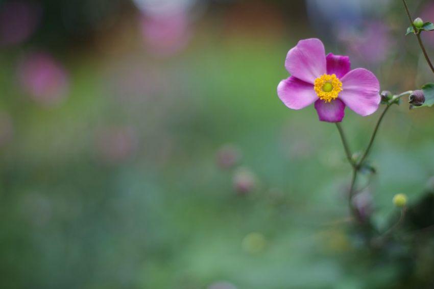 秋明菊 シュウメイギク Autumn Flower Freshness Close-up Blossom Beauty In Nature Flower Head Nature Pink Color Day Outdoors Focus On Foreground