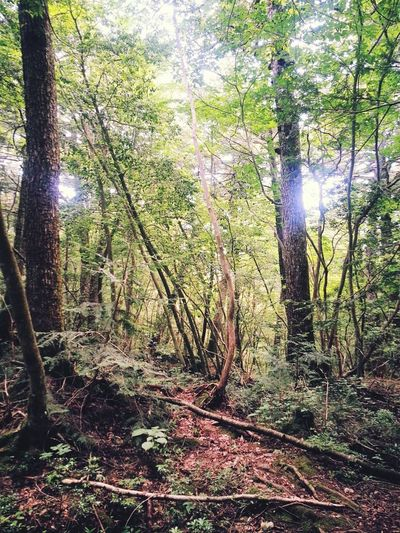 Fujisan Jukainomori Jukai Forest Nature