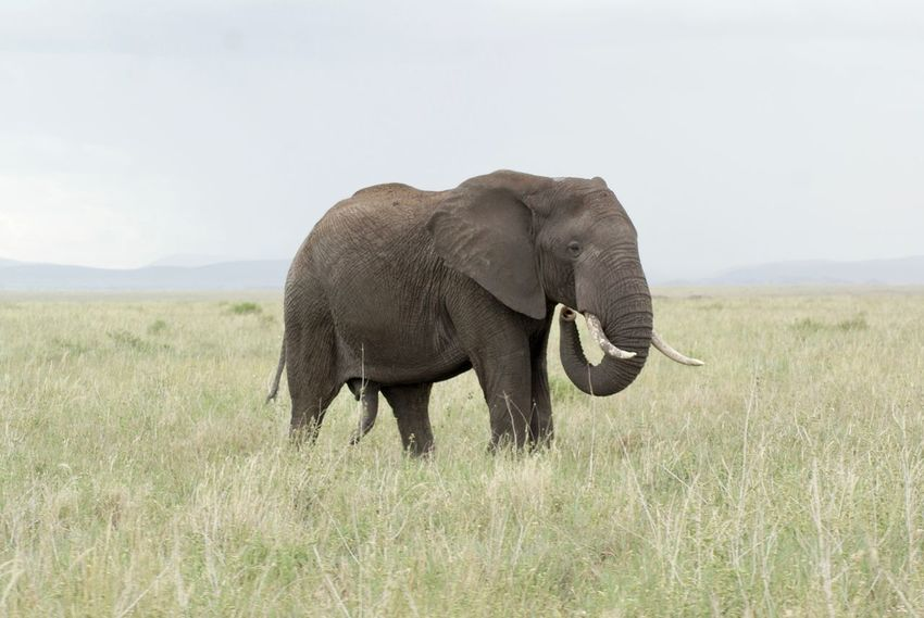 Animales Animals In The Wild Tanzania Africa African Beauty African Elephant African Safari Animal Animal Themes Animal Wildlife Animals Animals In The Wild Beauty In Nature Elephant Elephants Mammal Nature One Animal Safari Safari Animals Trunk Tusk