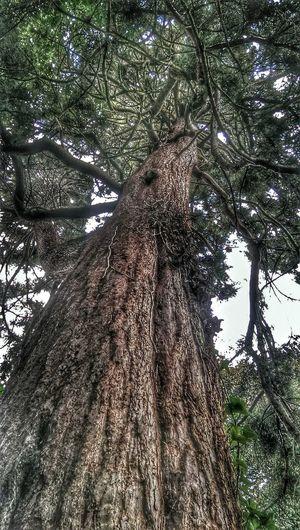 Pinetree Tree Bark Tall Tree