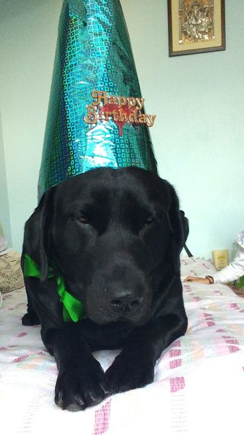 Birthday boy..... Dog Pets Labrador Dogsofinstagram Dogstagram Blacklab Myfurbaby Cutedog Puppytales Puppy_tales Barkpost Lovemydog Dogpeople Crazyaboutdogs Stylishdog Crazyanimallover Doglover Sexydog My Dog My Dogs Are Cooler Than Your Kids Cute Pets Dog Love Awesome_shots Dogs Of EyeEm Dogslife