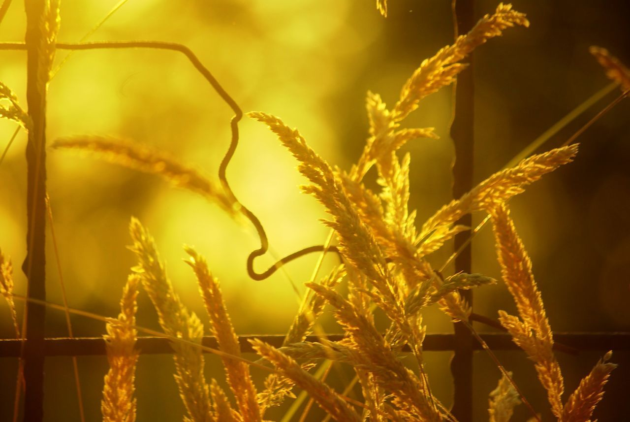 nature, growth, plant, no people, wheat, cereal plant, agriculture, outdoors, beauty in nature, close-up, rural scene, day, grass