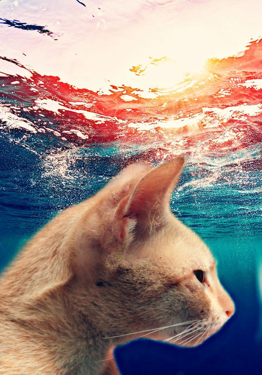 animal themes, pets, domestic animals, one animal, domestic cat, mammal, no people, sunset, close-up, feline, water, nature, outdoors, sea, day, sky