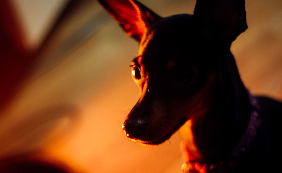I Think Therefore EyeEm Always Be Cozy Home Sweet Home Home Is Where The Art Is Quality Time Glitch Animals Capture The Moment Dog Enjoying Life EyeEm Gallery EyeEmBestPics Faces Of EyeEm Family Hello World Light And Shadow Miniature Pinscher One Animal Showing Imperfection Silence Silhouette Simple Moment Staring Eye4photography  4k Photography TCPM Pet Portraits