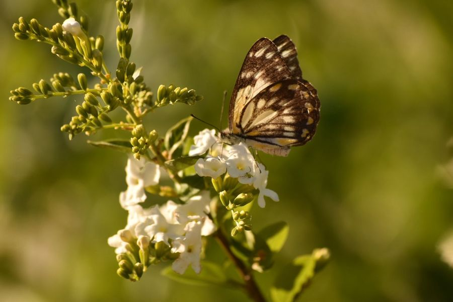 Animal Animal Themes Animal Wildlife Animal Wing Animals In The Wild Beauty In Nature Butterfly Butterfly - Insect Close-up Flower Flower Head Flowering Plant Focus On Foreground Fragility Freshness Growth Insect Invertebrate Nature No People One Animal Outdoors Plant Pollination Vulnerability