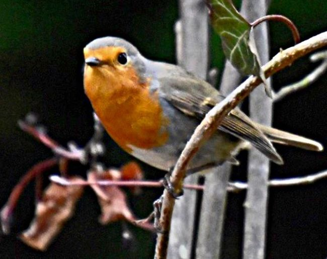 Animal Themes Animal Vertebrate Bird Animal Wildlife One Animal Perching Animals In The Wild No People Branch Outdoors Beauty In Nature Focus On Foreground Selective Focus Robin Tree Close-up Nature Day Plant