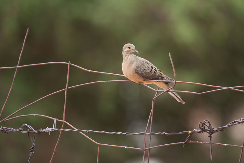 Close-Up Of Mourning Dove Perching On Metal